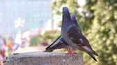 ruffled up : Two gray wild pigeons sit on a granite parapet. Pigeons are posing in front of the camera