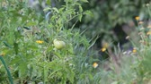 underripe : Unripe fruit of tomatoes in the garden shakes a slight breeze