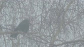 ладья : Black Raven sitting on a branch of a birch tree during a Blizzard