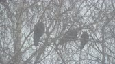 contorno : Three black crows sitting on a branch of a birch tree during a snowstorm