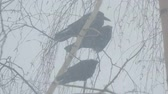 ладья : Three black crows sitting on a branch of a birch tree during a snowstorm