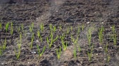 spring onion : Garlic shoots in the garden on the garden bed Stock Footage