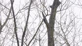 a major : Woodpecker on the trunk of a dry tree. Dendrocopos major