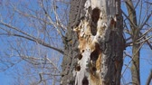 penetration : Woodpecker holes in a dry tree