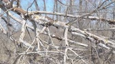 wind : Tree trunk broken by strong wind or hurricane Stock Footage