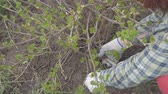 buda : Pruning currants with garden scissors Stock Footage