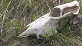 ресницы : The skull of a large animal on the grass Стоковые видеозаписи