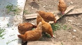 influenzy : Domestic chicken in the pen peck their food