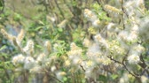 tronco de árvore : Fluff from the buds of the willow in the wind. Salix acutifolia Pendulifolia Stock Footage