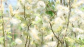 inculto : Fluff from the buds of the willow in the wind. Salix acutifolia Pendulifolia Stock Footage