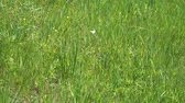 mariposa : White butterfly cabbage flying over green grass. Slow Motion