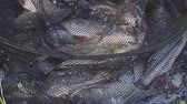 fresh caught : River fish in the cage. Redfin fish, roach Stock Footage