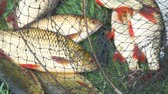 fresh caught : Caught Fish on the shore in a fishing cage on green grass. Rudd Fish. Selective focus. The background blur