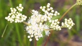 perennial : White meadow flower yarrow on natural background