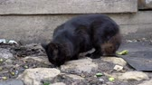 front or back yard : A black stray cat picks up leftover food from the floor. A stray hungry cat Stock Footage