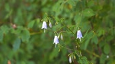 campanário : Wild flower blue bell swinging in the wind