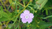 goździk : Small pink flower on natural background. Wood carnation. Dianthus deltoides Wideo