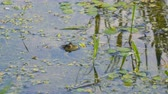 жаба : The green frog sits motionless in the water. Frogs head sticking out of the water