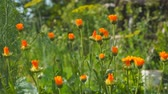 officinalis : Orange flowers of marigold in the wind. Calendula officinalis