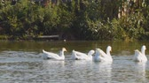 gansos : White geese are swimming in a rural pond or river