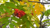 bundle of : Bright Red Rowan berries swaying wind. Selective focus