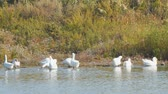 nibbling : White geese by the river or lake. Geese clean feathers and feed