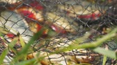 mordendo : Caught Fish on the shore in a fishing cage. Blurred background. Camera panning