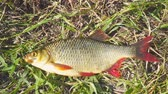 fresh caught : Fish with red fins on the grass. Rudd - Scardinius erythrophthalmus Stock Footage
