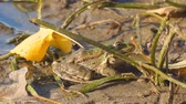 Frog on the shore next to fallen yellow leaves. Camera zooming