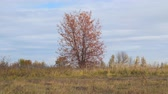 non urban scene : Lonely tree in a field with red autumn leaves. Camera panning