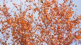 non urban scene : Autumn tree with red leaves and small fruits in the wind