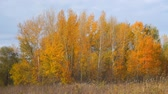 Autumn landscape. Yellow and orange leaves on the trees in a small grove. Front view of the autumn woods. Camera panning