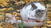 White Gray Cat eating its food on the background of autumn leaves Stock Footage