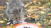 лизать : Gray Cat eating its food on the background of autumn leaves Стоковые видеозаписи