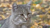 Portrait of a gray cat on a background of autumn leaves Stok Video