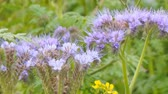 clorofila : Purple flowers of Phacelia in the garden. Camera zooming Vídeos