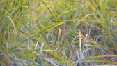 Wind swaying autumn grass. Camera panning Stok Video