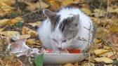 White Gray Cat eating its food on the background of autumn leaves Stok Video