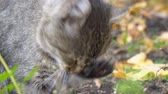 Grey cat licks paw and washes Stok Video