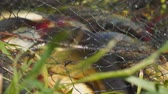 hengelsport : Caught Fish on the shore in a fishing cage. Blurred background