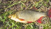 fresh caught : Fish with red fins on the grass. Rudd - Scardinius erythrophthalmus. Camera zooming Stock Footage
