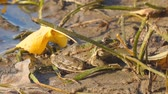Frog on the shore next to fallen yellow leaves. Camera panning Stok Video