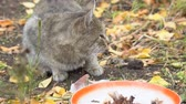 Gray Cat eating its food on the background of autumn leaves Stok Video