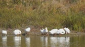 gansos : White geese by the river or lake. Geese clean feathers
