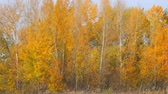Autumn landscape. Yellow and orange leaves on the trees in a small grove. Front view of the autumn woods. Camera zooming out Stok Video