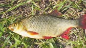 fresh caught : Fish with red fins on the grass. Rudd - Scardinius erythrophthalmus. Camera panning