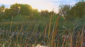 mucha : Gnus, mosquitoes or midges fly over the lake and reeds, sedge Wideo