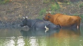 boynuzlu : Cows stand in the water on a hot day escaping from the heat. Camera panning Stok Video