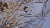 ornitoloji : Cormorant arrives and sits on a tree. Slow motion Stok Video