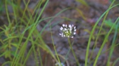 tallo : Blooming small white flowers of Wild or Mouse onions. Allium albidum (angulatum) Archivo de Video
